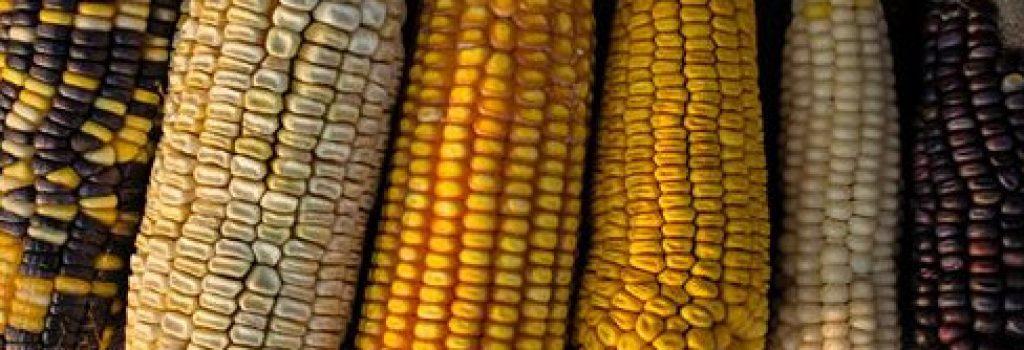 maiz del chaco